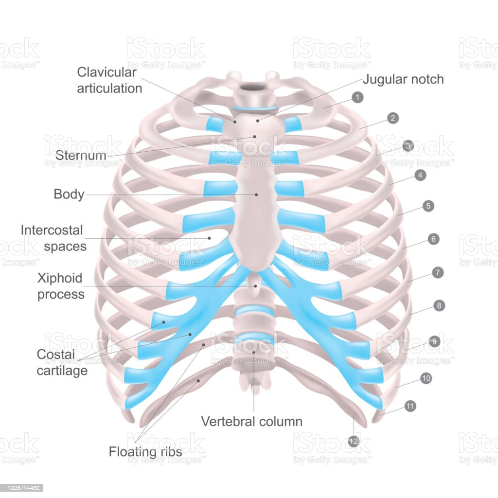Thoracic Cage, Anatomy body Human. vector art illustration