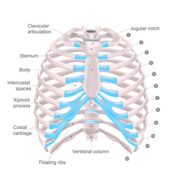 Thoracic Cage, Anatomy body Human. vector art illustration