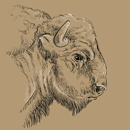 Thoughtful portrait of bison hand drawing illustration brown