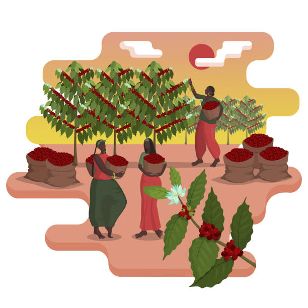 illustrazioni stock, clip art, cartoni animati e icone di tendenza di three beautiful black women with baskets harvest coffee on the plantation in harvest season - coffee farmer