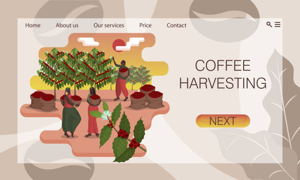 illustrazioni stock, clip art, cartoni animati e icone di tendenza di three beautiful black women with baskets harvest coffee on the plantation. concept of website, landing page design template - coffee farmer