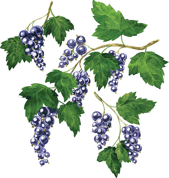 three branches of black currants three branches of black currants drawing by watercolor, hand drawn vector elements black currant stock illustrations