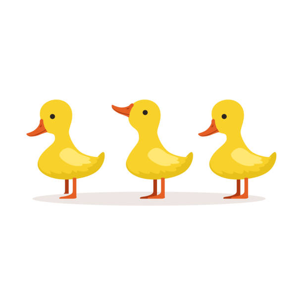 Three cute cartoon ducklings characters standing one after another vector Illustration Three cute cartoon ducklings characters standing one after another vector Illustration isolated on a white background duckling stock illustrations