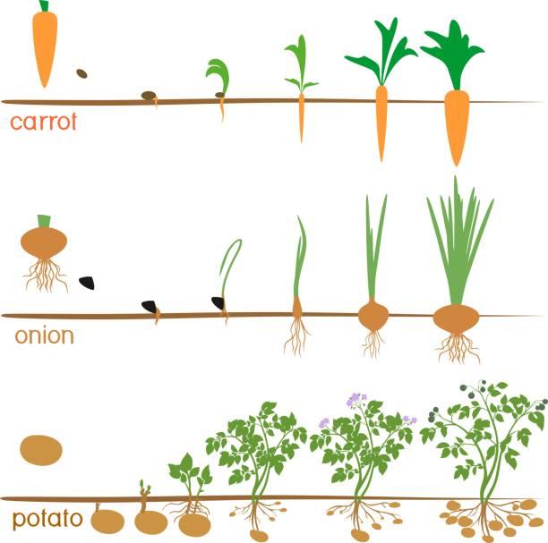 ilustrações de stock, clip art, desenhos animados e ícones de three cycles of growth of agricultural plants isolated on white background - alter do chão