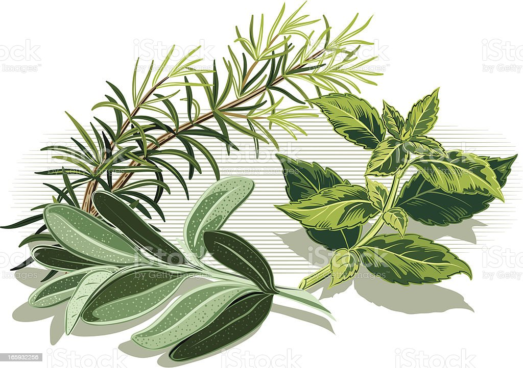 Three different herbs on a white background vector art illustration
