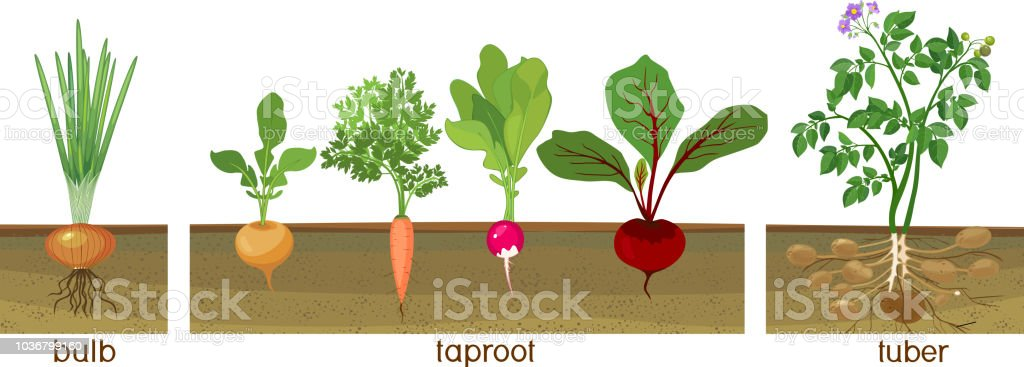 Three different types of root vegetables growing on vegetable patch. Plants showing root structure below ground level vector art illustration