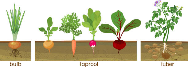 three different types of root vegetables growing on vegetable patch. plants showing root structure below ground level - root vegetable stock illustrations