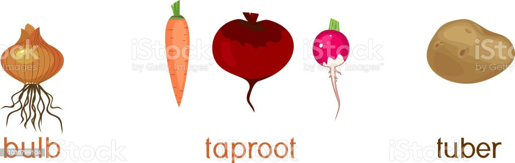 Three different types of root vegetables isolated on white background vector art illustration