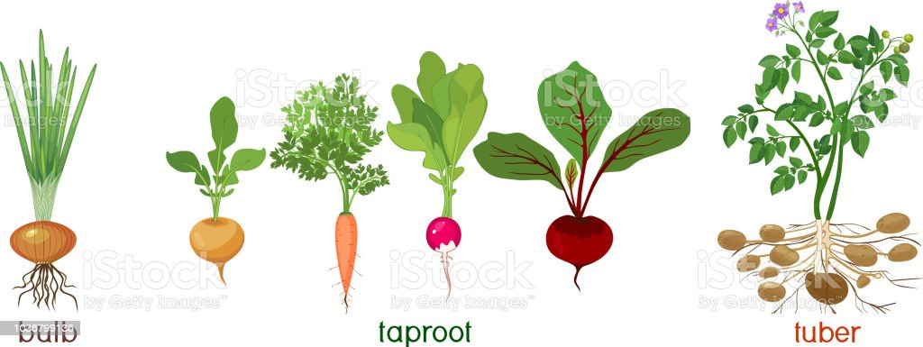 Three different types of root vegetables isolated on white background. Plants with leaves and root system vector art illustration