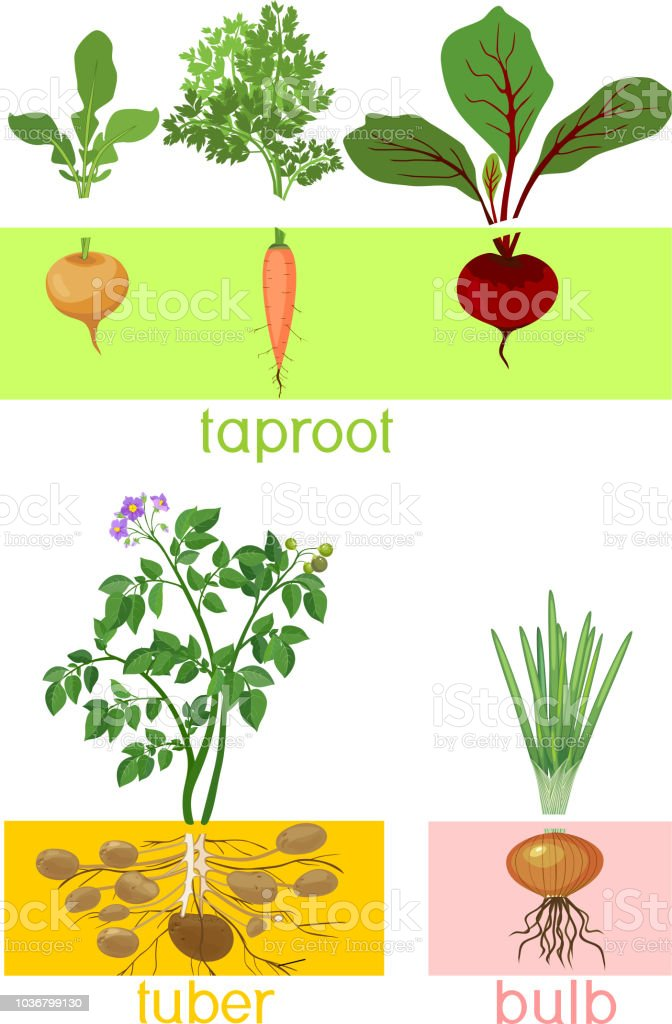 Three different types of root vegetables. Plants with leaves and root system vector art illustration