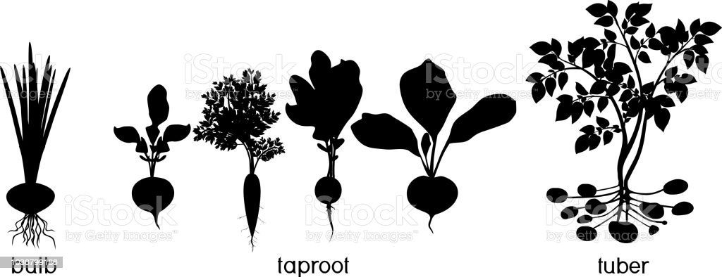 Three different types of root vegetables. Silhouettes of agricultural plants vector art illustration