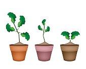 Three Fresh Limes in Ceramic Flower Pots