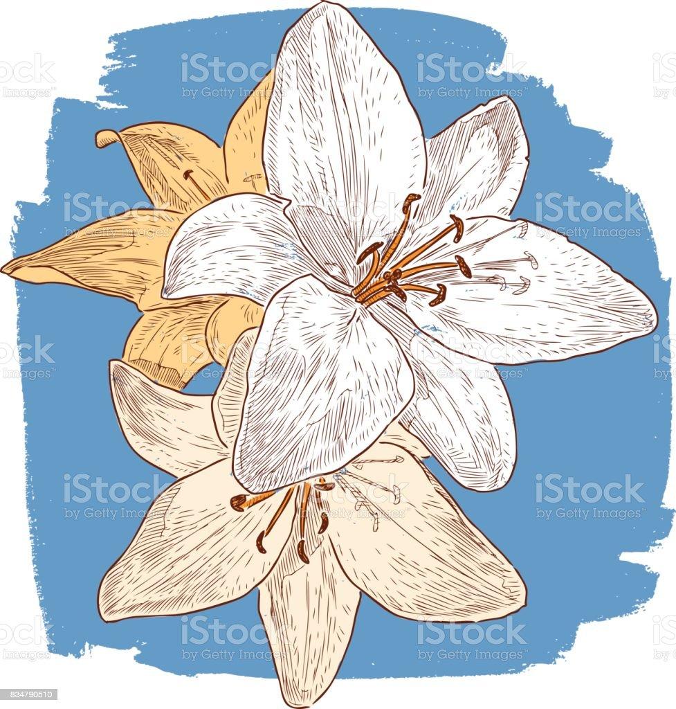 Drei Garten Lilien Stock Vektor Art Und Mehr Bilder Von Ansicht Von