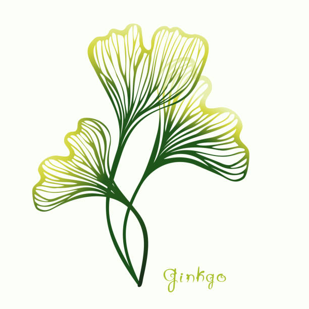 Three Ginkgo Biloba leaves. Plant of ginkgo with title for traditional medicine, gardening or cooking design. Vector illustration. ginkgo stock illustrations