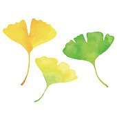 Three ginkgo leaves. Green, yellow and orange. Watercolor painting.