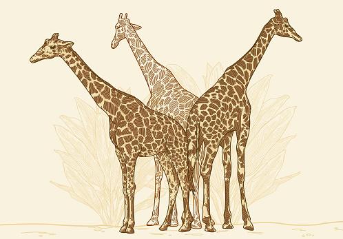 Three Giraffes are a Crowd