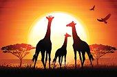 Three Giraffes silhouettes safari in savanna against hot sun.