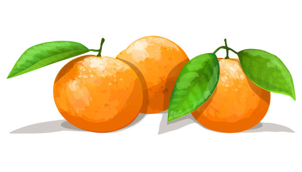 Bекторная иллюстрация Three oranges with leafs isolated on white background. Vector illustration