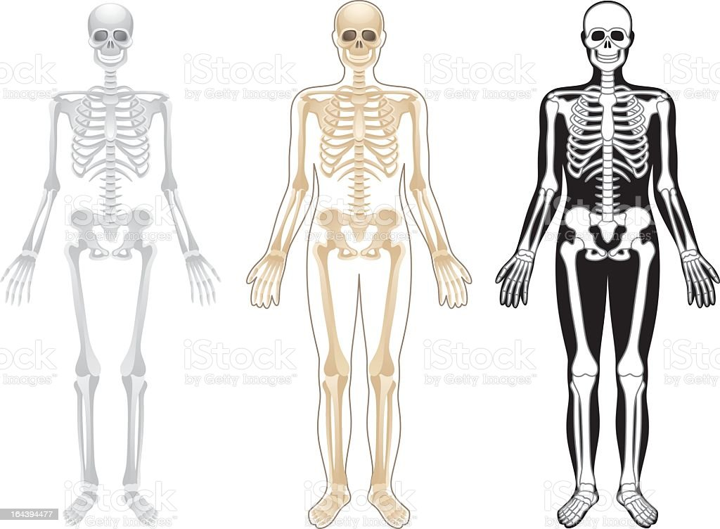 Three skeleton illustrations in different colors on white vector art illustration