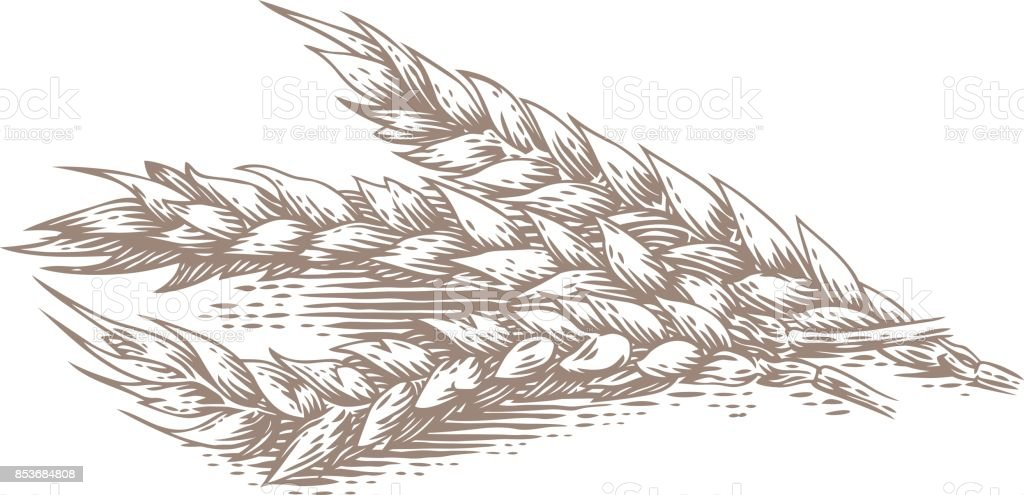 Three spikelets of wheat vector art illustration