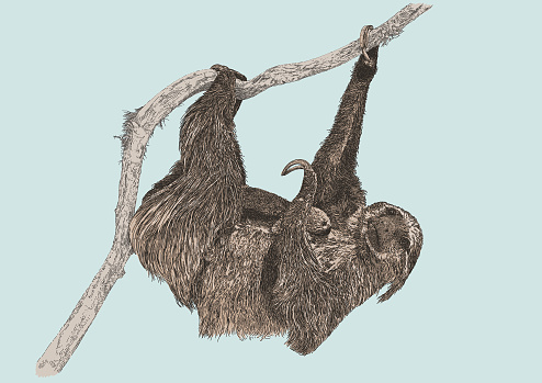 Three Toed Sloth with Young