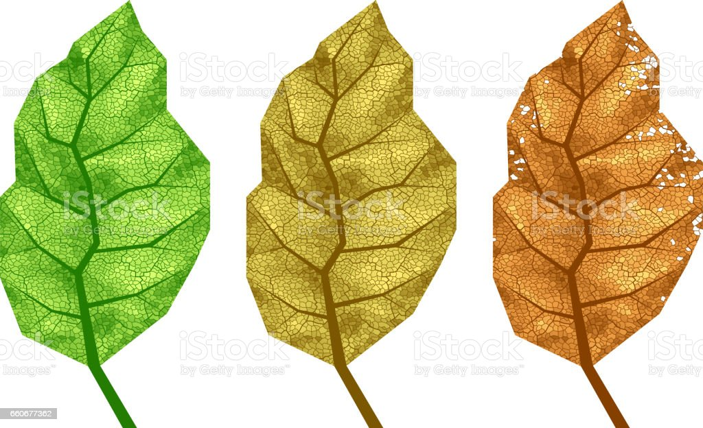 Three vector tobacco leaves with veins vector art illustration