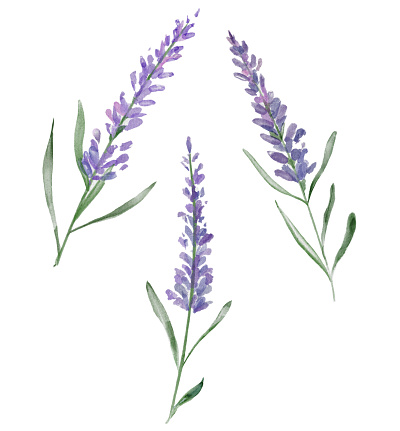 Three watercolor lavender flowers