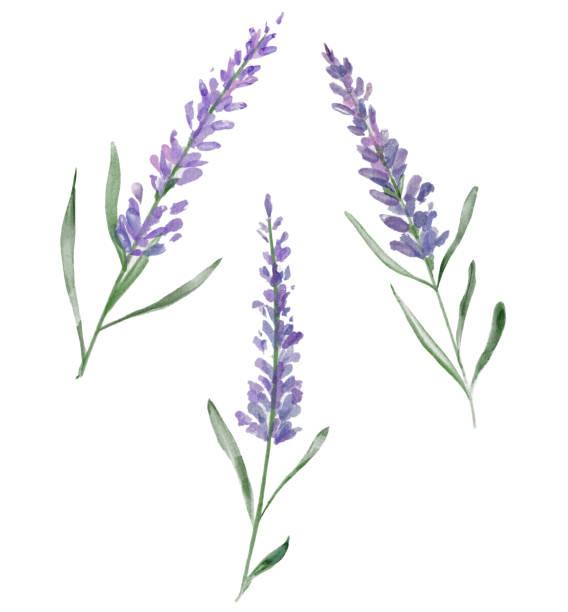illustrazioni stock, clip art, cartoni animati e icone di tendenza di three watercolor lavender flowers - colore lavanda