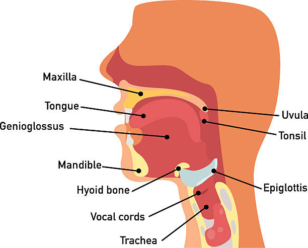 Royalty Free Tonsil Clip Art Vector Images Illustrations Istock