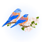 Thrush small Bluebirds  songbirdons on an apple tree branch with flowers vintage vector illustration  hand draw