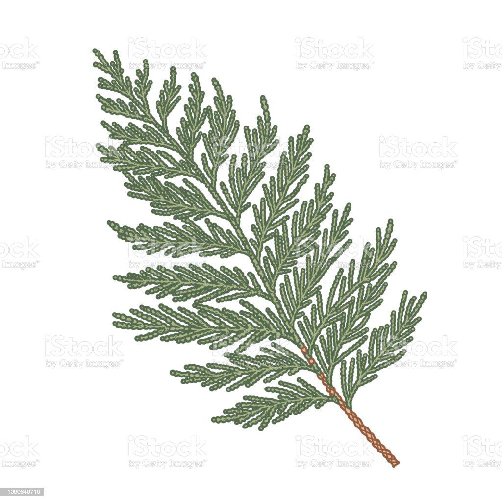 Thuja hand drawn branch, engraved botanical decor. - illustrazione arte vettoriale