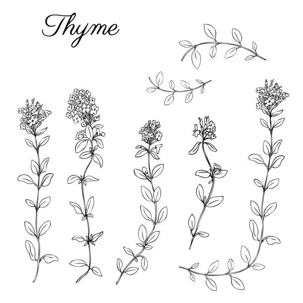 Thyme branch hand drawn vector illustration isolated on white, Natural cooking doodle spicy ingredients, Healing herb design for greeting cards, invitations, packaging tea, cosmetics, kitchen menu Thyme branch hand drawn vector illustration isolated on white, Natural cooking doodle spicy ingredients, Healing herb design for greeting card, invitations, packaging tea, cosmetics, kitchen menu thyme stock illustrations