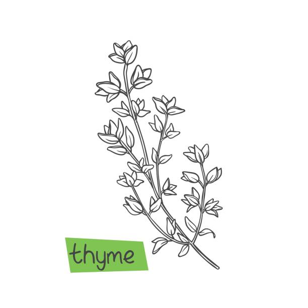 Thyme hand drawn Thyme hand drawn vector illustration. Culinary herbs and spice. thyme stock illustrations