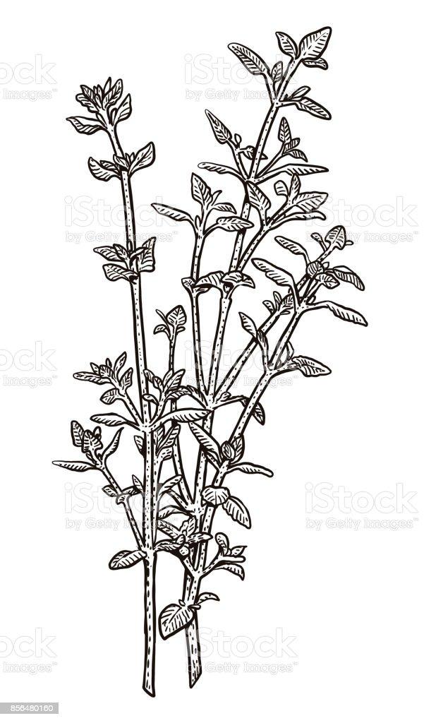 Thyme illustration, drawing, engraving, ink, line art, vector vector art illustration