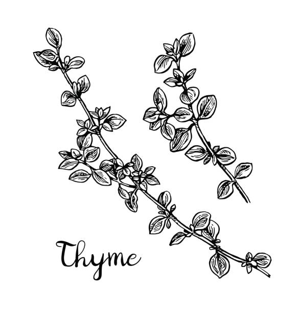 Thyme ink sketch. Thyme ink sketch. Isolated on white background. Hand drawn vector illustration. Retro style. thyme stock illustrations