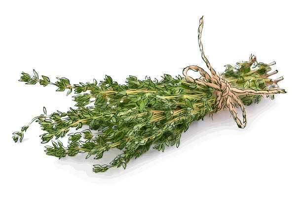Thyme Thyme. Vector illustration. thyme stock illustrations