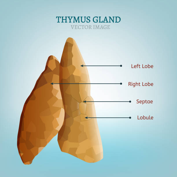 Thymus Gland Image Stock Vector Art More Images Of Abdomen