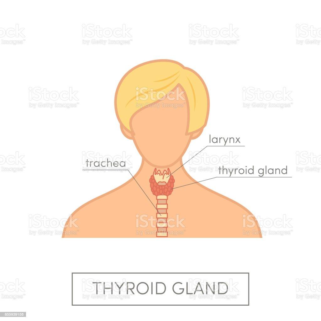 Anatomía De La Glándula Tiroides De La Mujer - Arte vectorial de ...