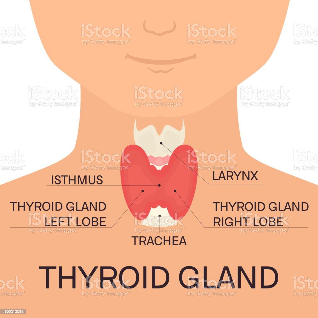 Thyroid gland in men vector art illustration