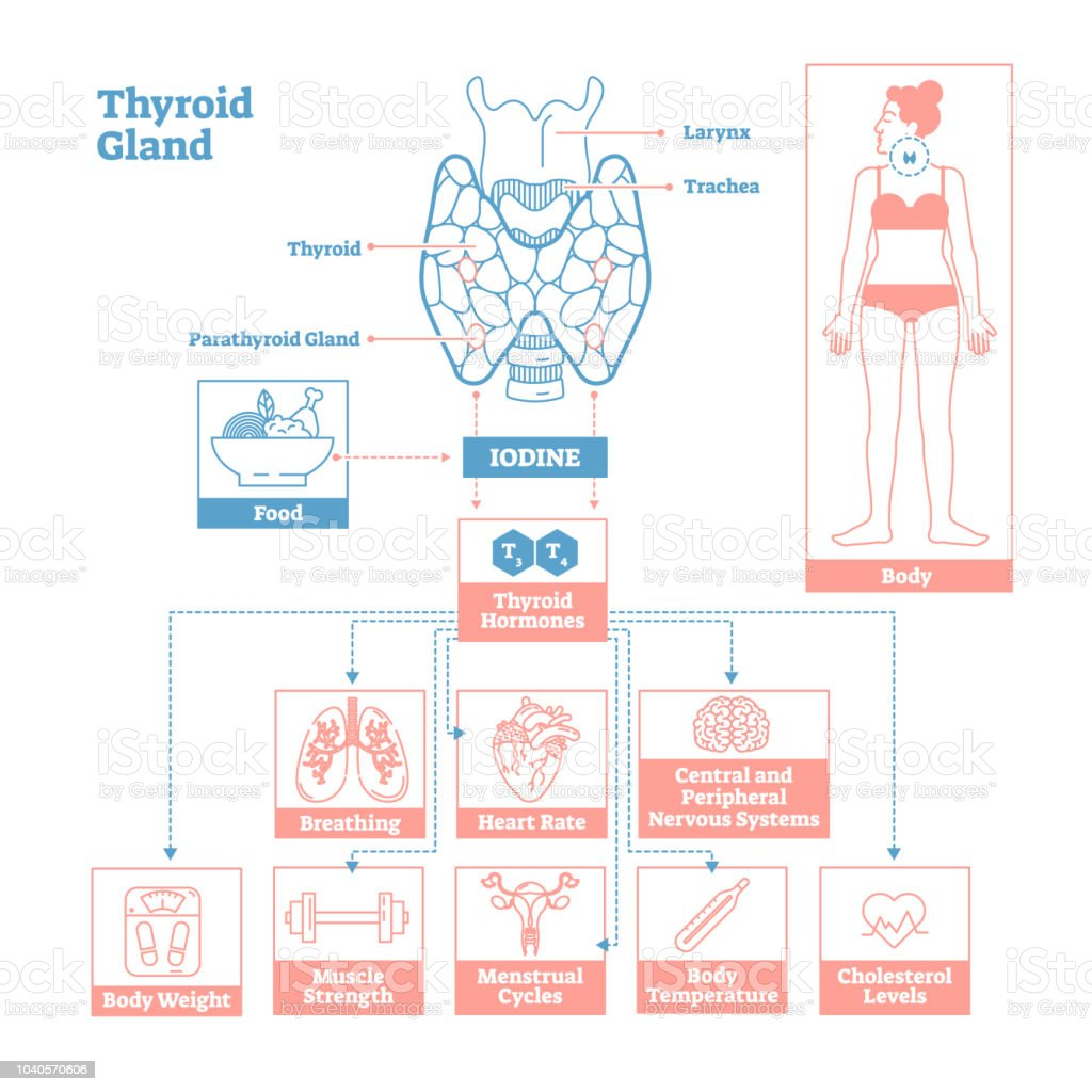 Thyroid Gland Of Endocrine System Medical Science Vector