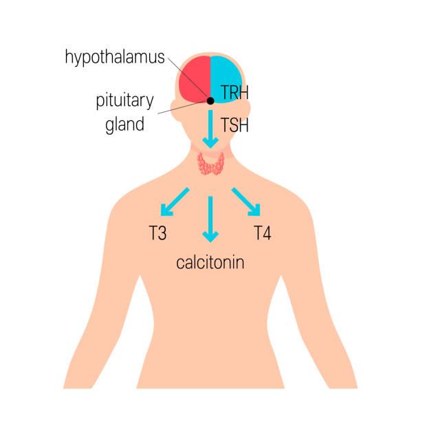 ilustraciones, imágenes clip art, dibujos animados e iconos de stock de vector de la glándula tiroides - thyroxine