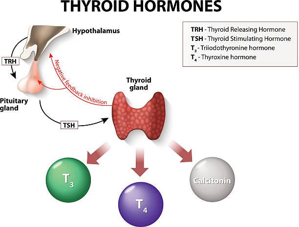 ilustraciones, imágenes clip art, dibujos animados e iconos de stock de hormonas tiroideas - thyroxine