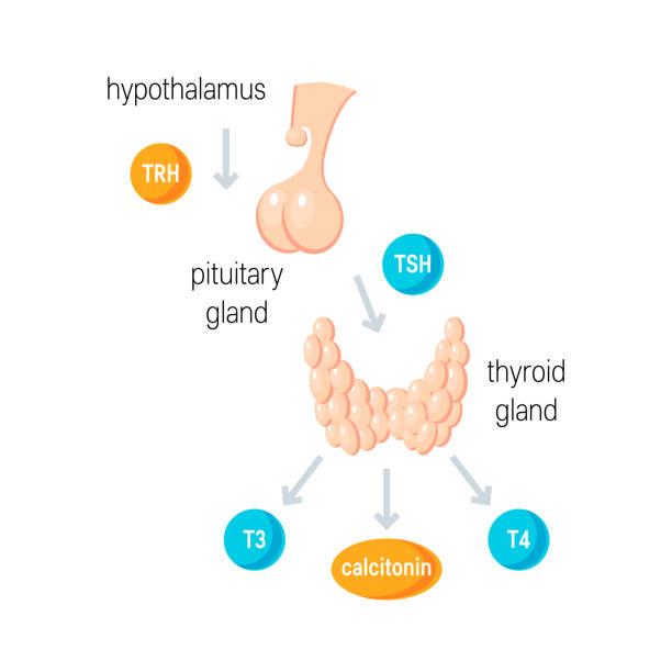 ilustraciones, imágenes clip art, dibujos animados e iconos de stock de vector de las hormonas tiroideas - thyroxine