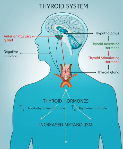 ilustraciones, imágenes clip art, dibujos animados e iconos de stock de tiroides sistema poater - thyroxine