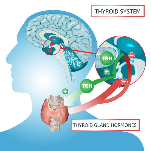 ilustraciones, imágenes clip art, dibujos animados e iconos de stock de cartel de sistema de tiroides - thyroxine