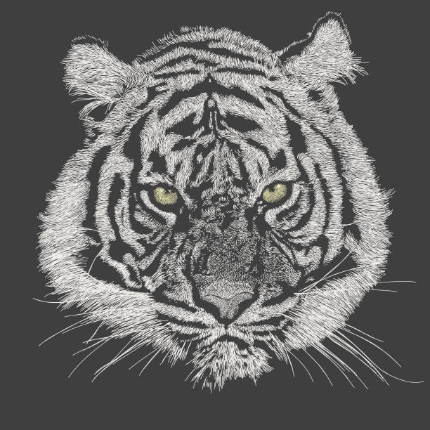 Tiger Face Vector Stroke illustration. All colours are layered and grouped separately. Easily editable. tiger stock illustrations