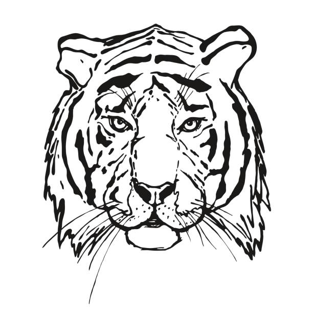 illustrations, cliparts, dessins animés et icônes de tigre. tête. animal sauvage. - tigre blanc