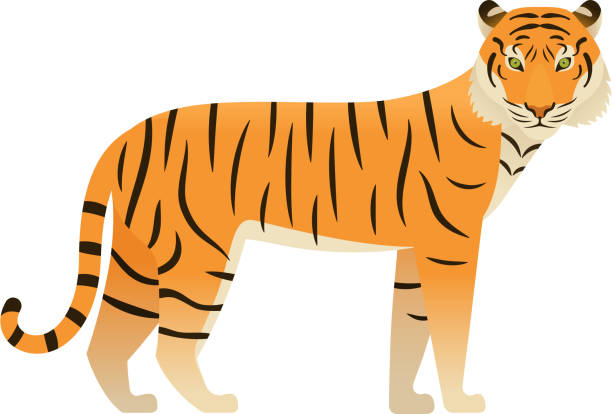 Tiger in flat design.  Vector Illustration. Wild animal. Tiger flat design. Vector. Zoo wild cat, animal isolated. African fauna on white background. Cartoon Illustration. tiger stock illustrations