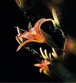 Mezzotint illustration of Tiger Lilies.