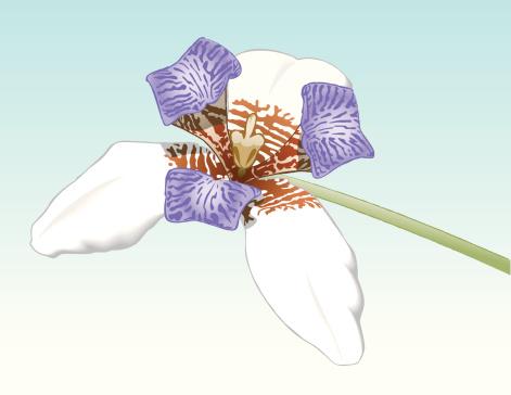 Tiger Orchid-vektorgrafik och fler bilder på Blomkorg - Blomdel